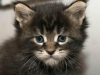4-weeks-girl-big-m-on-brow-maine-coon