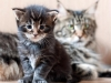 25-th-day-http-mc-okeanas-lt-kittens-litter_b-best