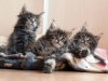 7-weeks-today-http-mc-okeanas-lt-kittens-litter_b