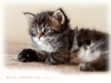 bad-boy-okeanas-elite-black-tabby-male-30th-day-ht-2941749070889