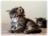 bad-boy-okeanas-elite-black-tabby-male-30th-day-ht