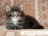 bad-boy-okeanas-elite-black-tabby-male-41th-day-ht