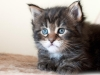 bandit-okeanas-elite-black-tabby-male-30th-day-htt