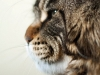 natural-maine-coon-smile-http-mc-okeanas-lt-page_i