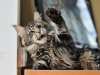 our-maine-coon-youngsters-relaxing-tigers-extra-5