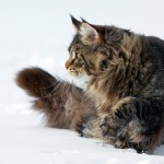 6 150x150  About our Maine Coon cattery: