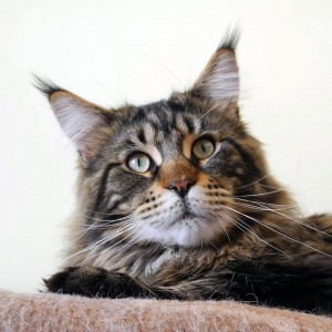 dad. Meilas - maine coon