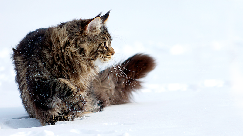 maine coon 454ds  About our Maine Coon cattery: