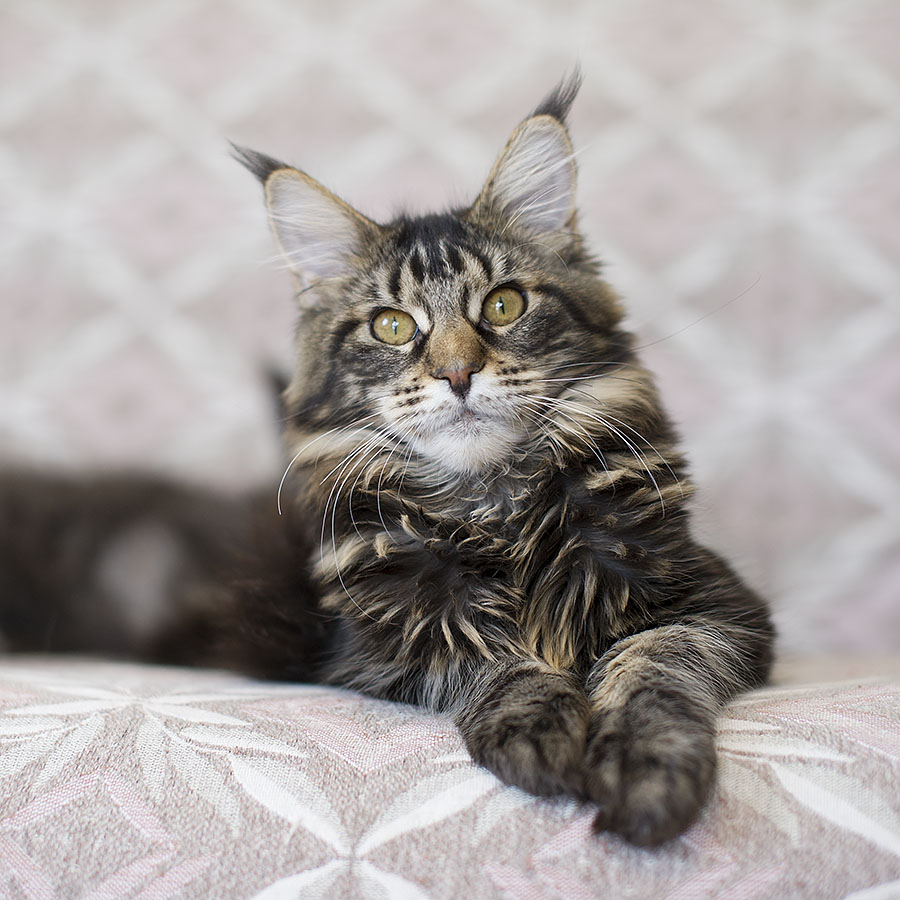 N 22 Maine Coon Extra 5 months  maine coon