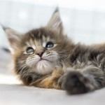 maine coon. Diva 7 weeks