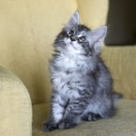 fabi. maine coon kitten