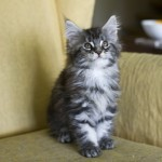 filippa. Maine Coon KITTENS for you