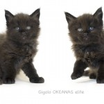 gigolo. maine coon 39 days