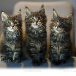 9 weeks. maine coon kittens OKEANAS