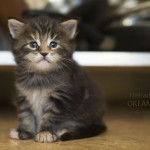 Hellada 26 days. maine coon kitten