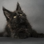 Marcus - 10 weeks black Maine Coon