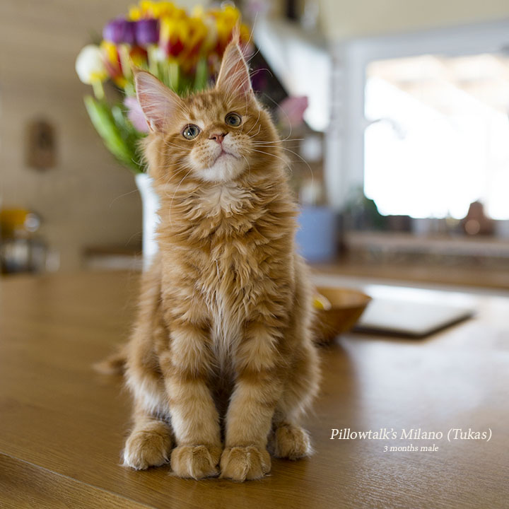 Tukas 3 months. maine coon